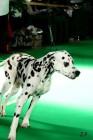 XVII. Mezinárodní výstava psů PRAHA 2009 č.19