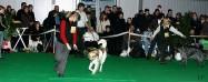 XVIII. Mezinárodní výstava psů PRAHA 2009 fotogalerie č.33