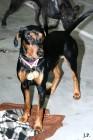 XVIII. Mezinárodní výstava psů PRAHA 2009 fotogalerie č.127