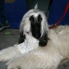 XVIII. Mezinárodní výstava psů PRAHA 2009 fotogalerie č.137