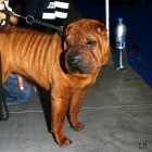 XVIII. Mezinárodní výstava psů PRAHA 2009 fotogalerie č.144