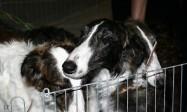 XVIII. Mezinárodní výstava psů PRAHA 2009 fotogalerie č.145