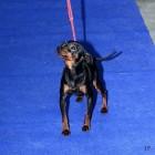 XVIII. Mezinárodní výstava psů PRAHA 2009 fotogalerie č.150
