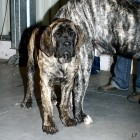 XVIII. Mezinárodní výstava psů PRAHA 2009 fotogalerie č.154