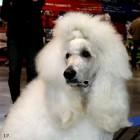 XVIII. Mezinárodní výstava psů PRAHA 2009 fotogalerie č.157