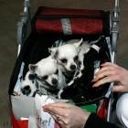 XVIII. Mezinárodní výstava psů PRAHA 2009 fotogalerie č.161