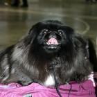 XVIII. Mezinárodní výstava psů PRAHA 2009 fotogalerie č.164