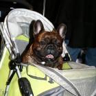 XVIII. Mezinárodní výstava psů PRAHA 2009 fotogalerie č.165