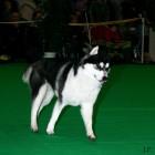 XVIII. Mezinárodní výstava psů PRAHA 2009 fotogalerie č.221